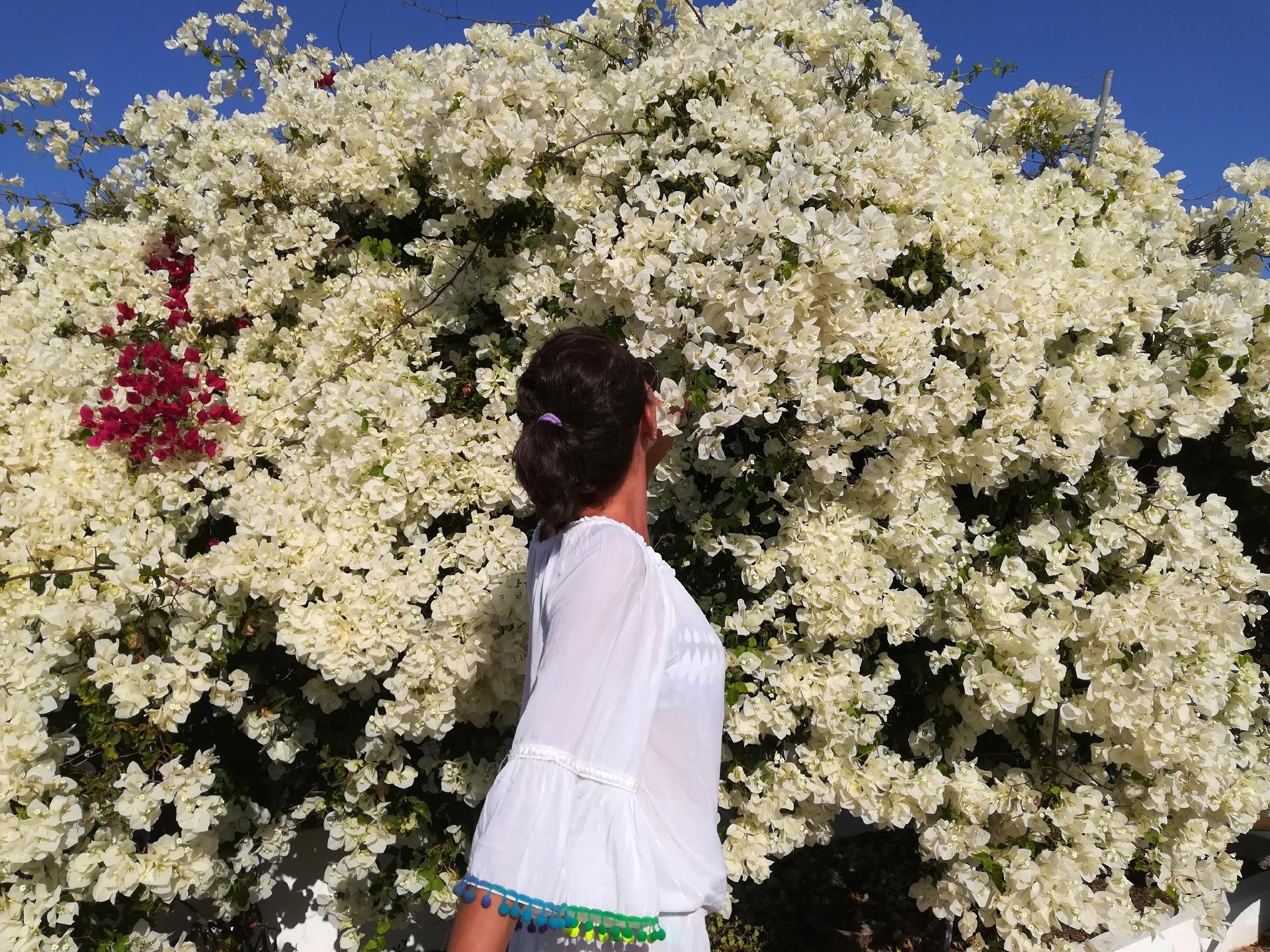 Una bouganville bianca di Ihla da Farol, Faro, Algarve, Portogallo