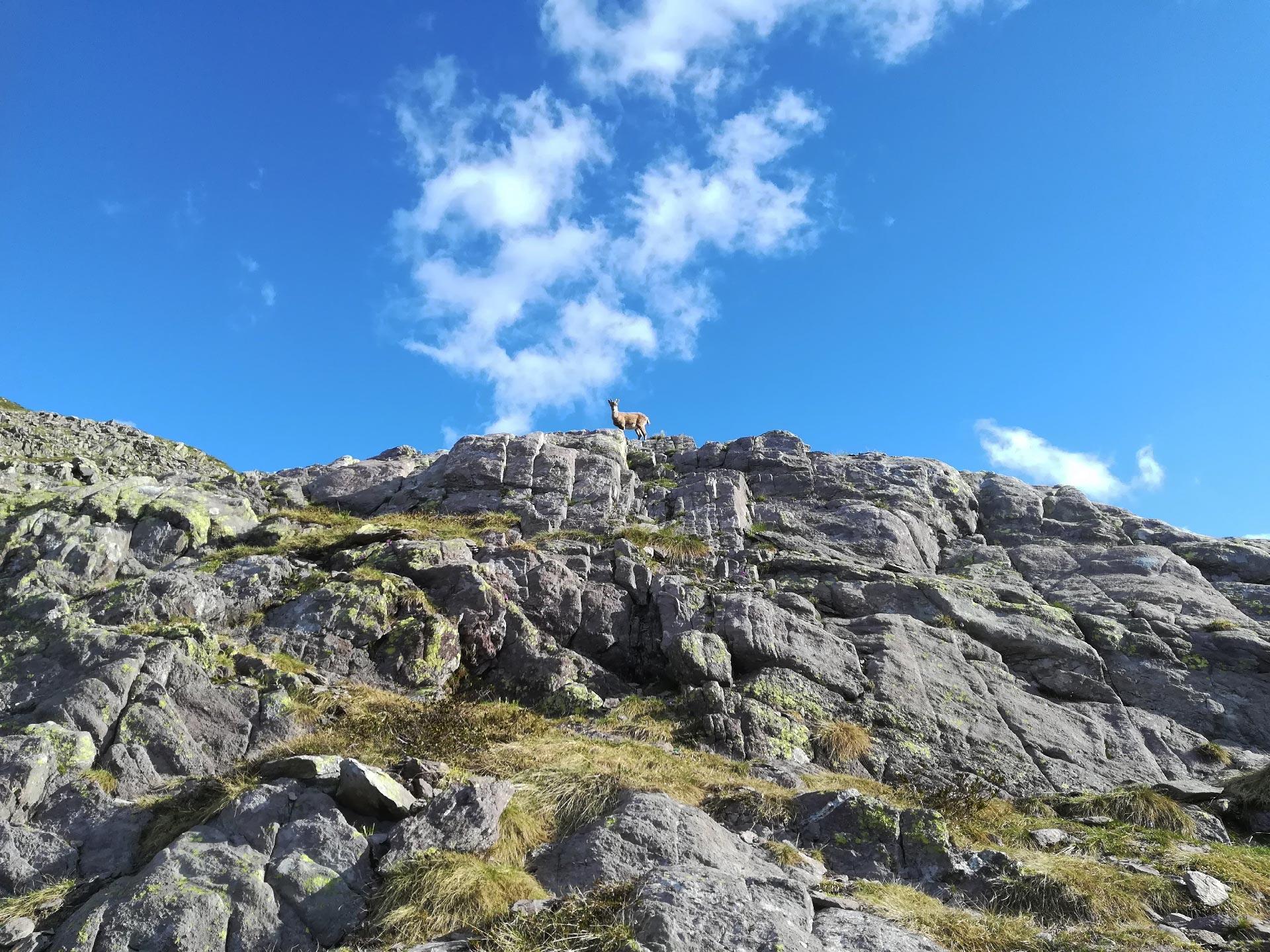 uno stambecco sulle rocce nei pressi del Passo di Mezzeno, Val Brembana, Lombardia